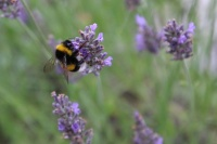 Fleur et abeille (6).JPG