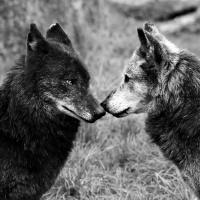 Loup noir intime