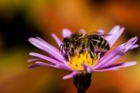 Abeille sur fleur d'automne