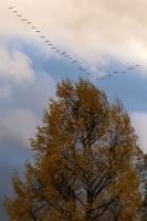 Migration des grues. Montier en der.