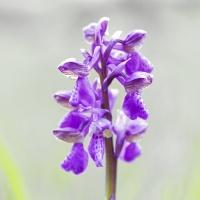 Orchidée sauvge.jpg