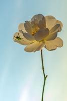 Fleur_Églantine_Contre-jour