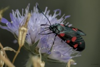 Insecte butinant