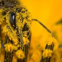 Tete_Abeille_pollen