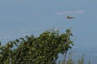 Guepier en vol Kaiserstuhl 22 juillet