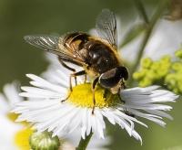 délectation pollenique