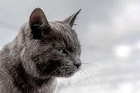 Portrait  chat cendré