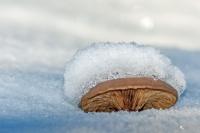 Champignon bois neige