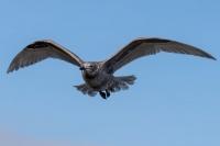 OiseauMarinLabbe