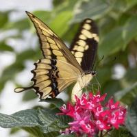 Papillon_JCLA.jpg