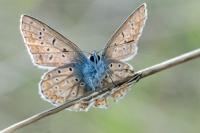 Papillon Azuré bleu céleste