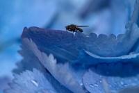 DSC03174 mouchette hortensia bleu.jpg
