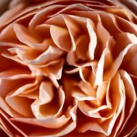 Rose couleur.jpg