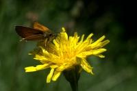 DSC_8316 papillon 2.jpg