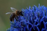 DSC04896 abeille au butinage.jpg