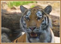 Tigre_citadelle_final.jpg