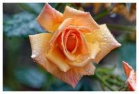 Rose+gouttes_final.jpg