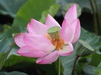 Lotus des Indes (Nelumbo nucifera).JPG