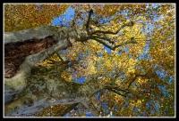 Platanes_automne_final.jpg