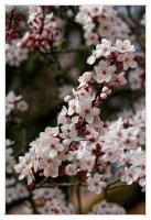 Cerisier_en_fleur_final.jpg