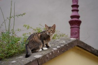 Jeune chat en balade en vieille ville