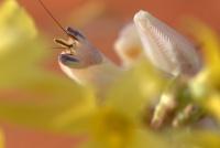 mante religieuse orchidèè