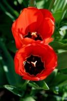 Tulipes_Rouges_final.jpg