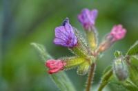 Pulmonaire à fleur sombre