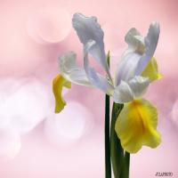 bokeh-Iris.jpg