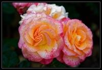 Roses_mouillées_variation_1_final.jpg