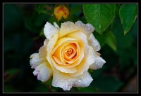 Rose_mouillée_variation_2_final.jpg