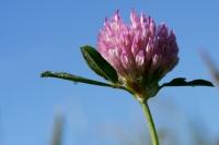 DSC01029_Fleur de trèfle.jpg