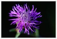 Fleur_violette_NISI_final.jpg