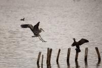 Héron cendré et cormoran à l'étang des forges