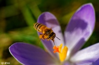 Crocus+abeille_light.jpg