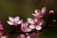 Cerisier_à_fleurs_roses_light.jpg