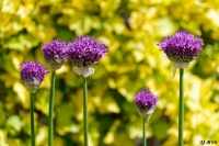 Alliums_pourpre_light.jpg