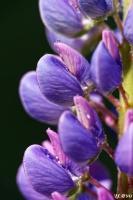 Lupin_violet_light.jpg