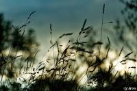 Herbes_au_coucher_du_soleil_light.jpg