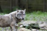 Loup gris_JcL.jpg