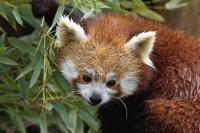 Panda roux_JcL_2.jpg